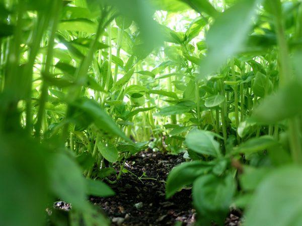 Basilika fotograferad underifrån på växtplatsen.