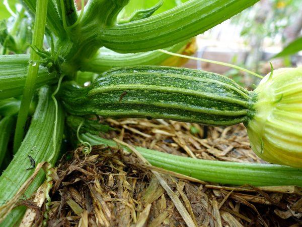 En liten squash på en stor planta.