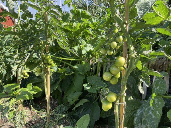 Gröna tomater på frodiga buskar på friland.