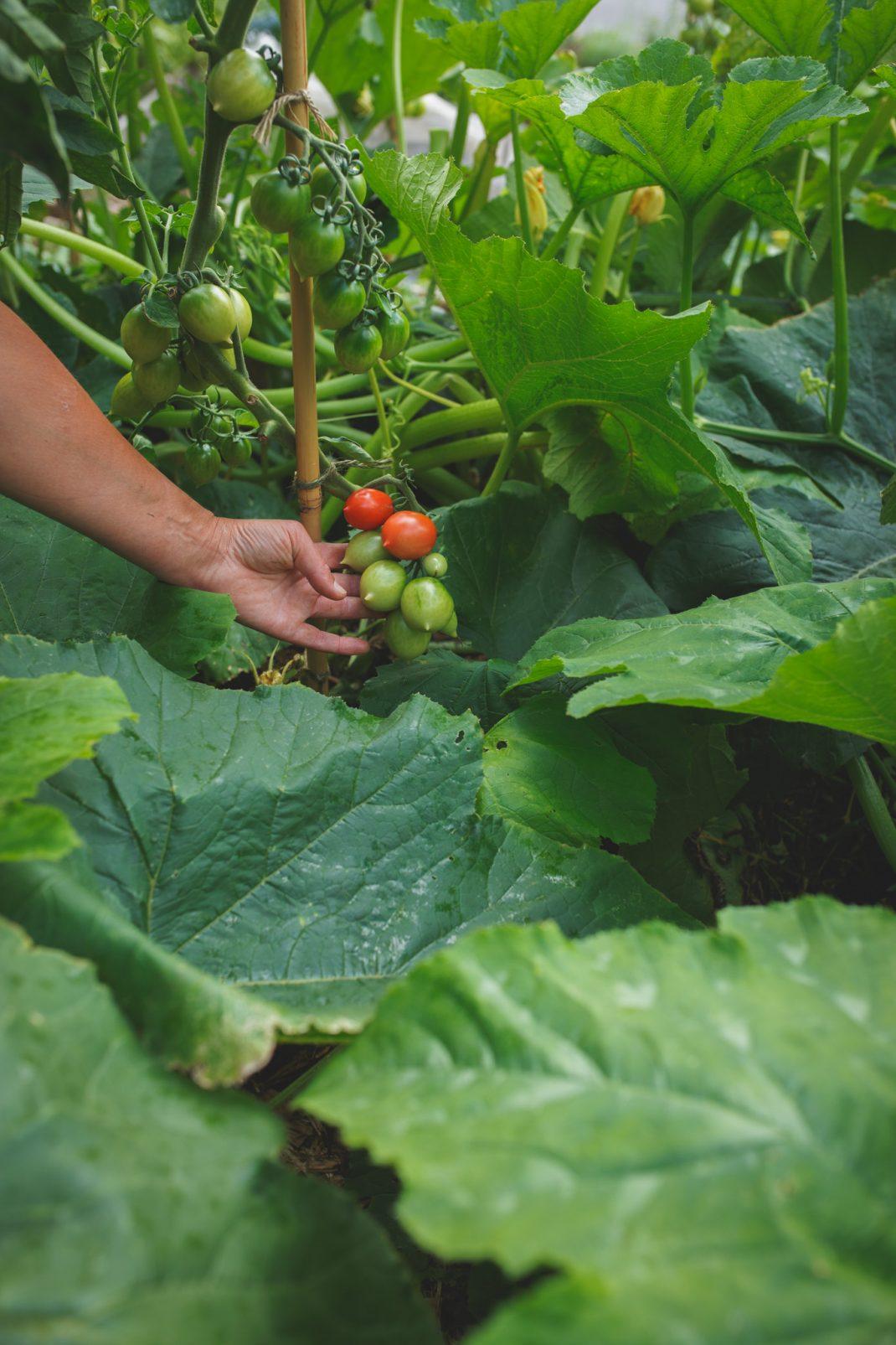 Tomater som börjar mogna