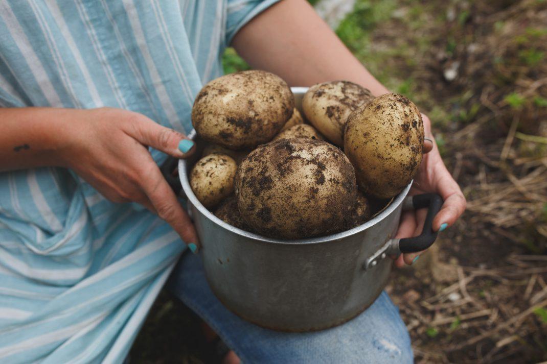 Potatis som ska bli hemmagjort potatismos