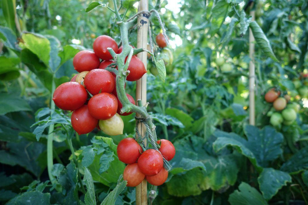 Tomater i en stor klase på gröna plantor..