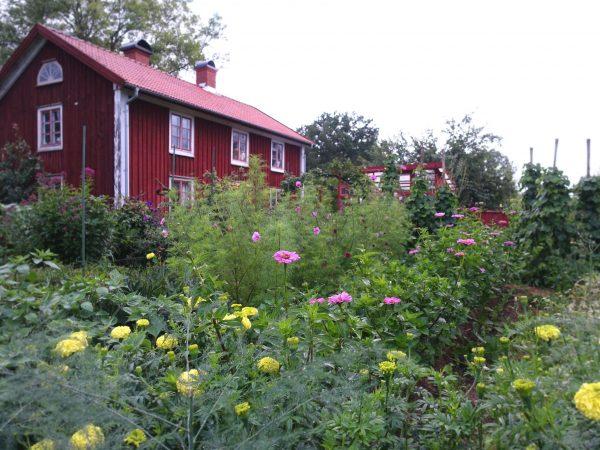 Bild på somrig köksträdgård med blommor, en mulen dag.