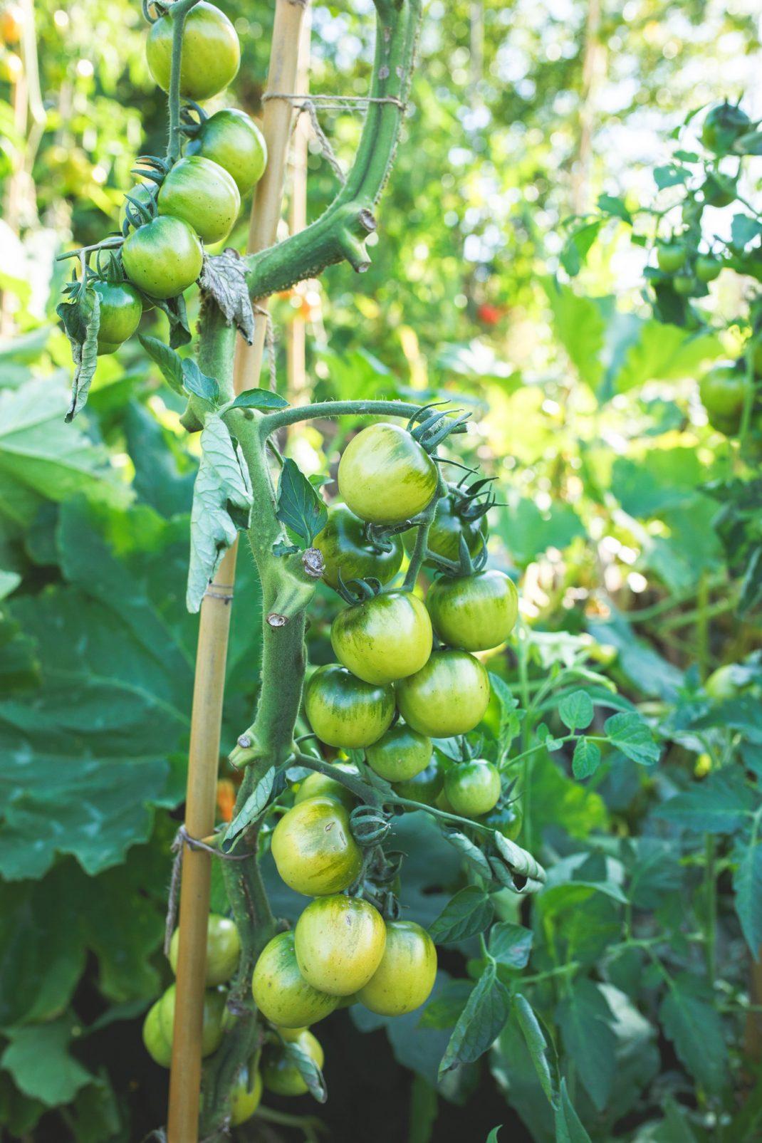 Tomater i upphöjda bäddar