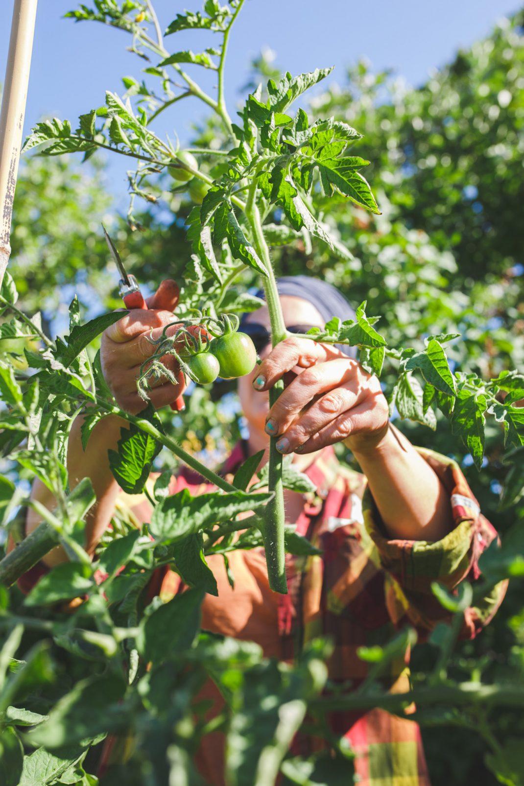 Toppning av tomater
