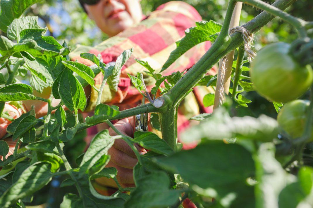 Beskära tomater på friland