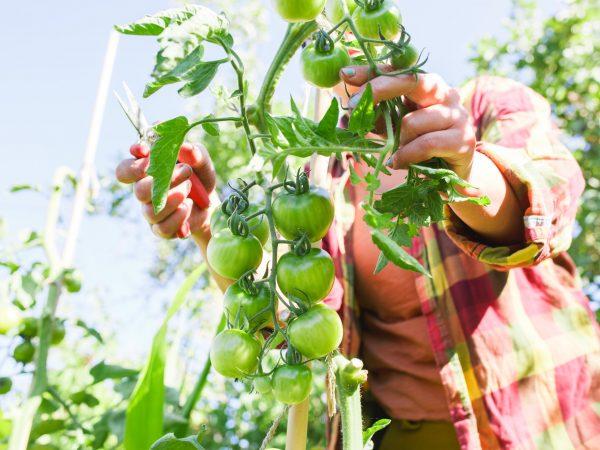 Tomater i upphöjd bädd