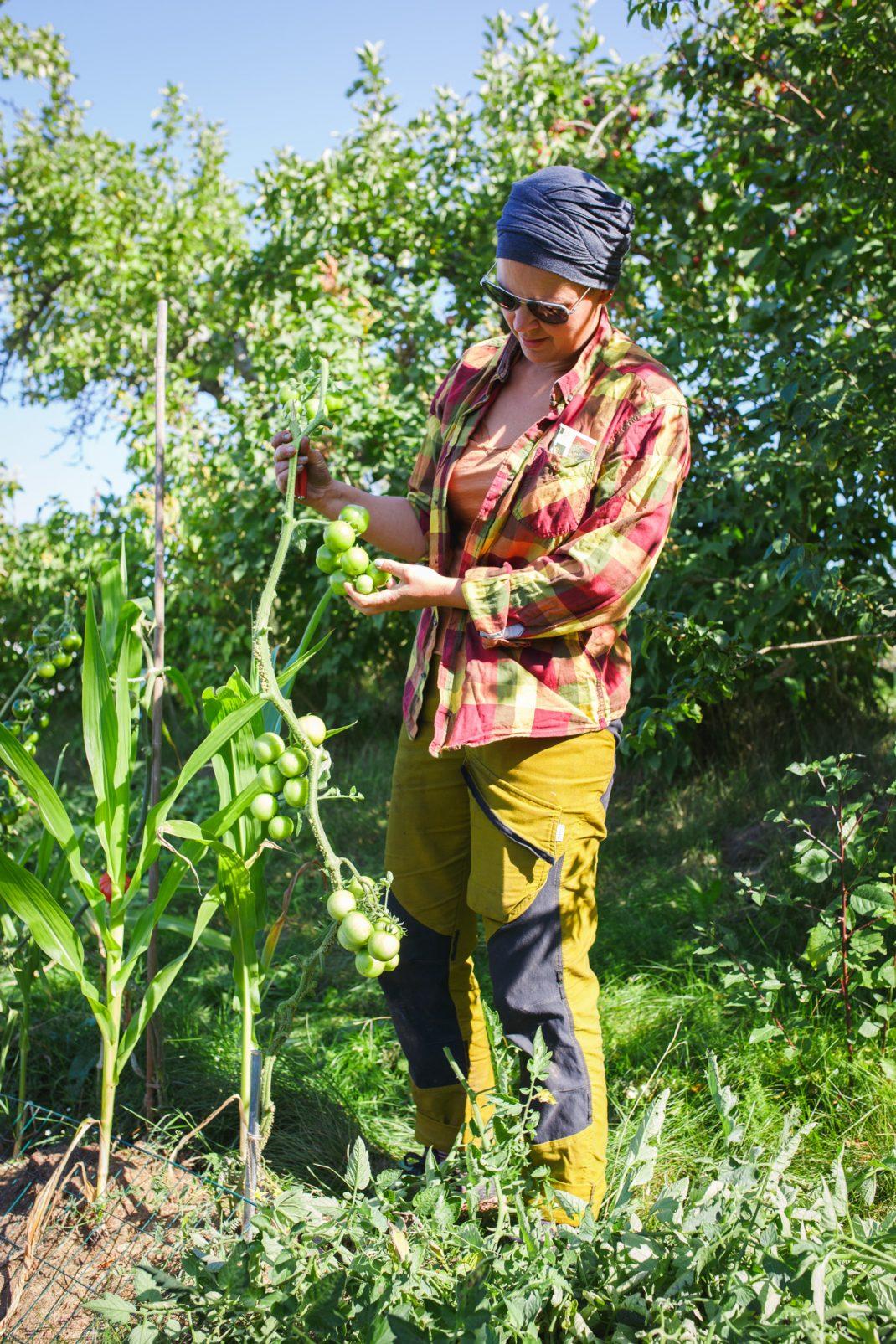Sara beskär och toppar tomatplantor