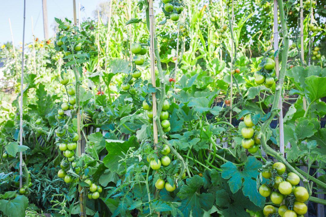 Tomatplantor i upphöjd bädd på Berghem