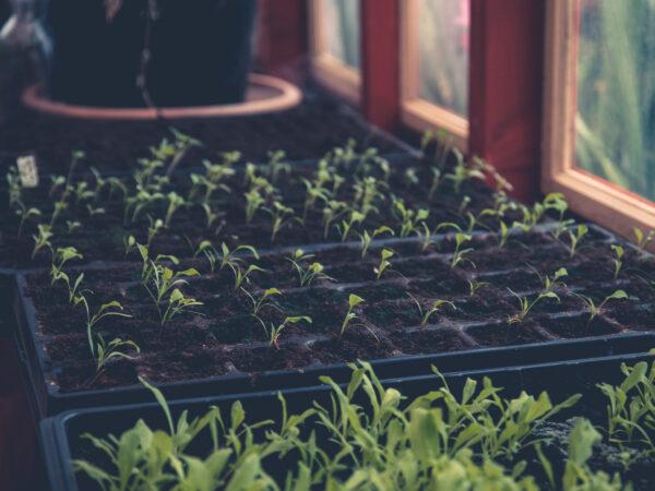 Små plantor av sommarblommor i växthus.