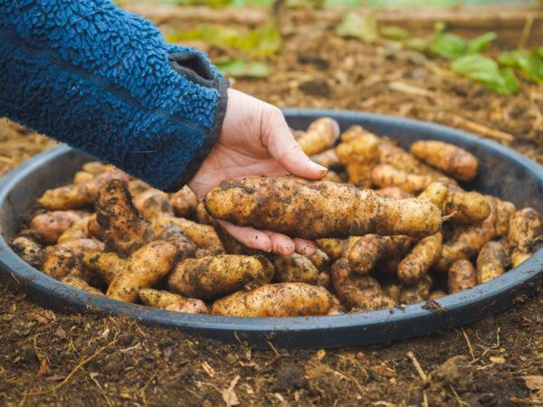 Potatis som förvaras i stuka