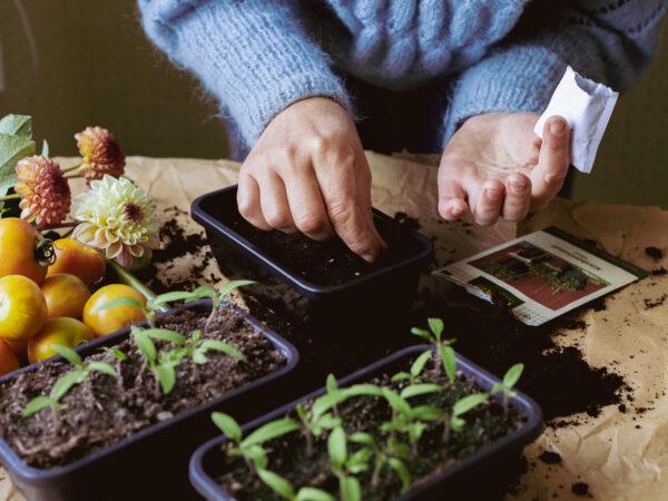 Tomatsådd i små odlingskrukor. I förgrunden syns små tomatplantor som hunnit gro.